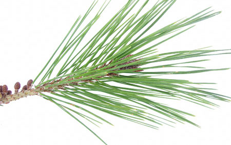 Red Pine Needle Oil Health Benefits